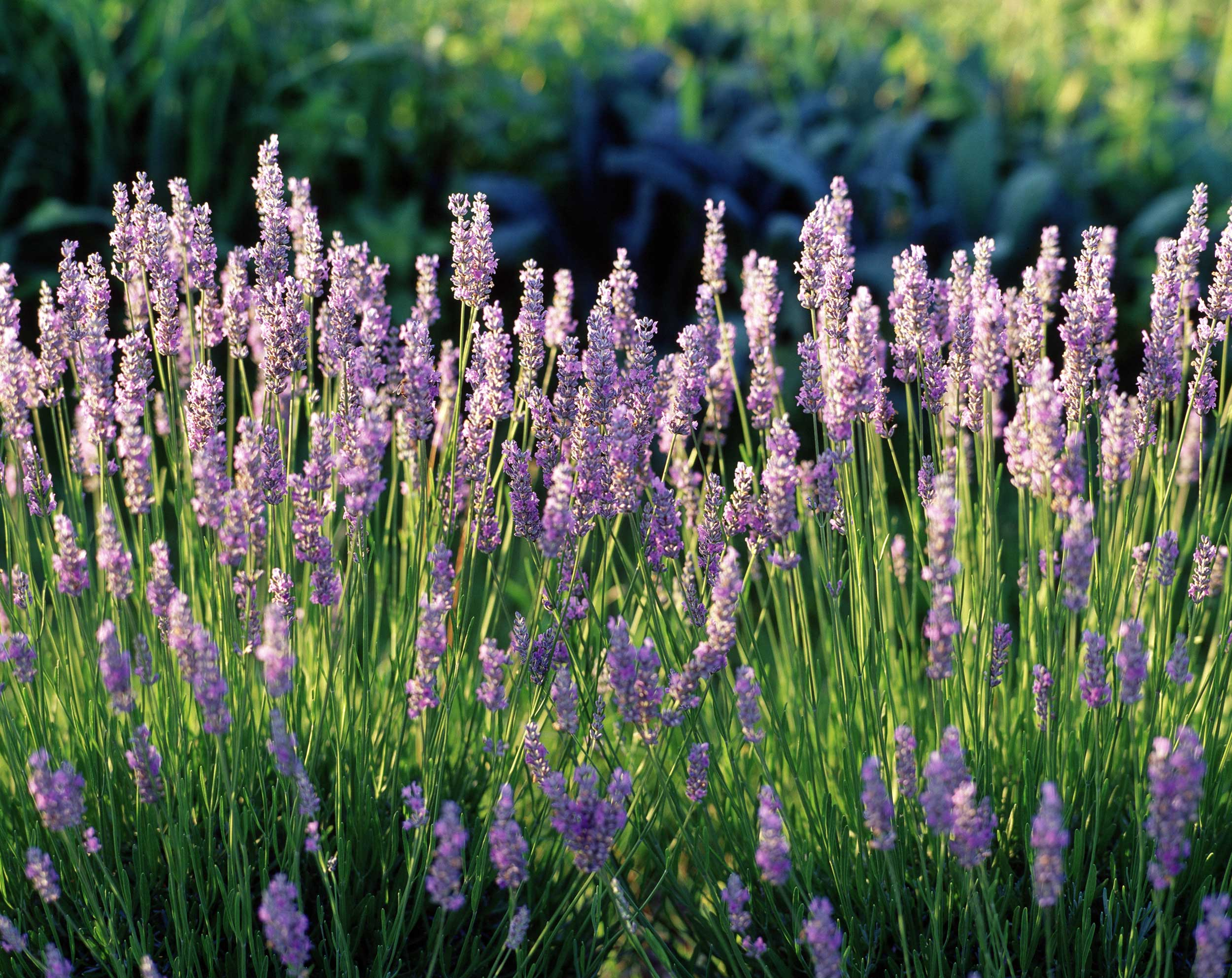 LCBO-lavender-horizontal-final-crop